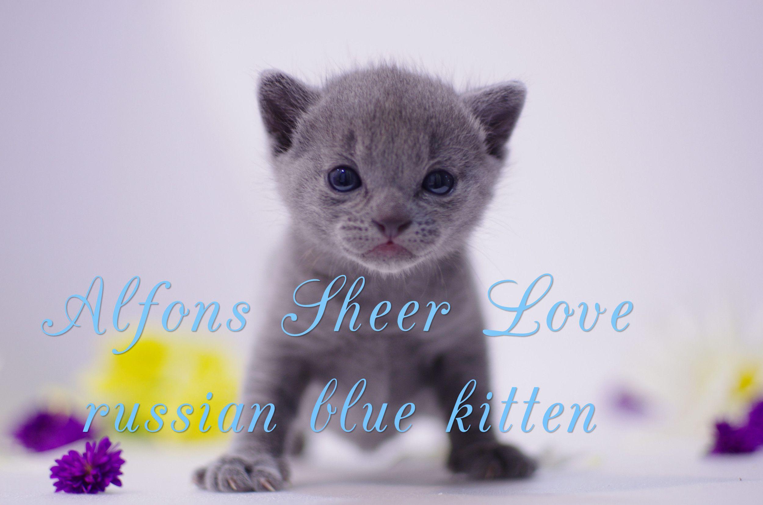russian blue kitten Alfons / русский голубой котенок из