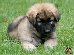 Kings Queens Is An Adoptable German Shepherd Dog Dog In Orlando