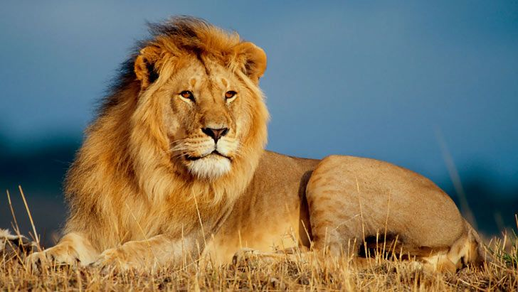 Lion in African Savanna (With images) Lion wallpaper