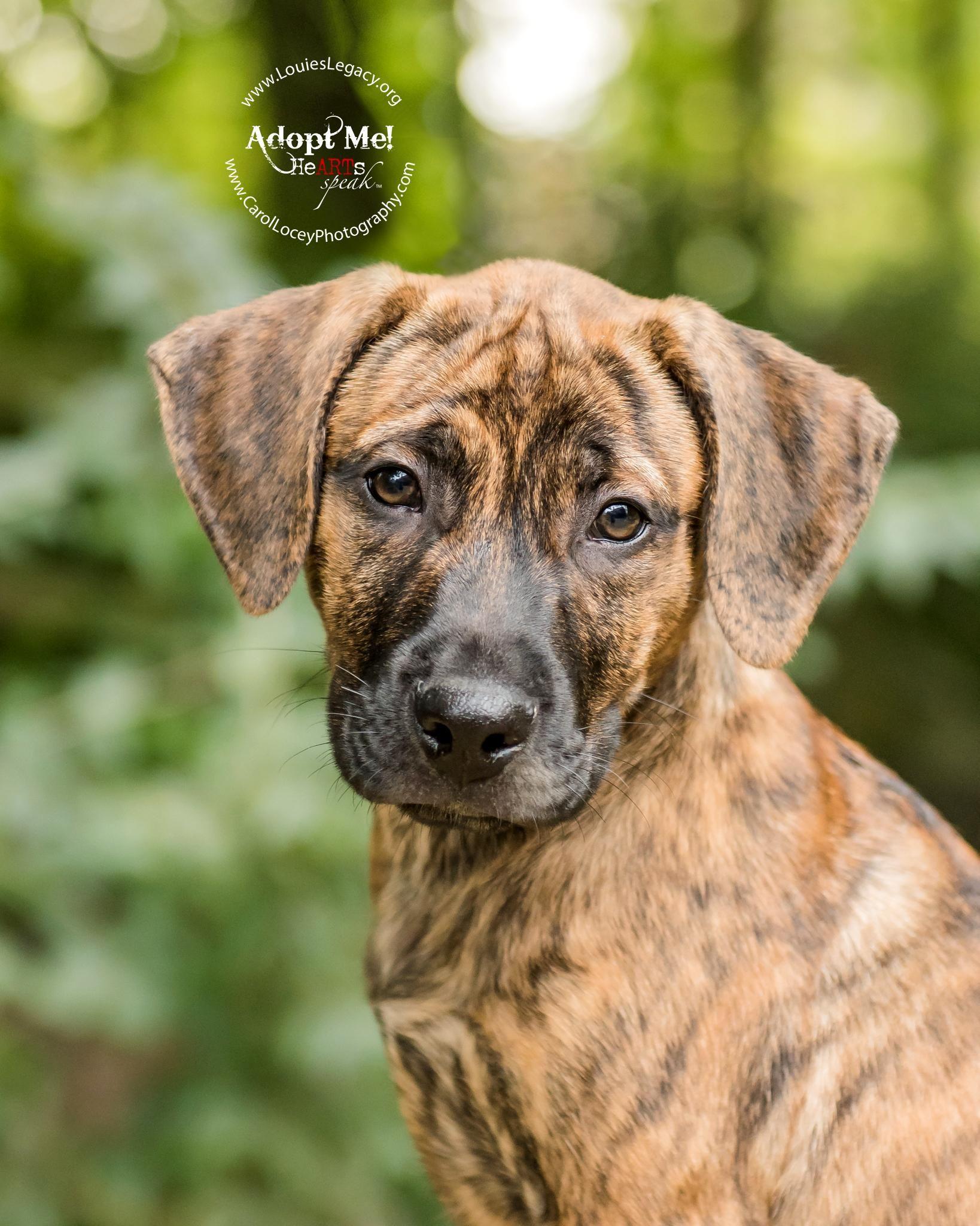 Adopt Hobbes on Pets, Labrador retriever mix, Labrador