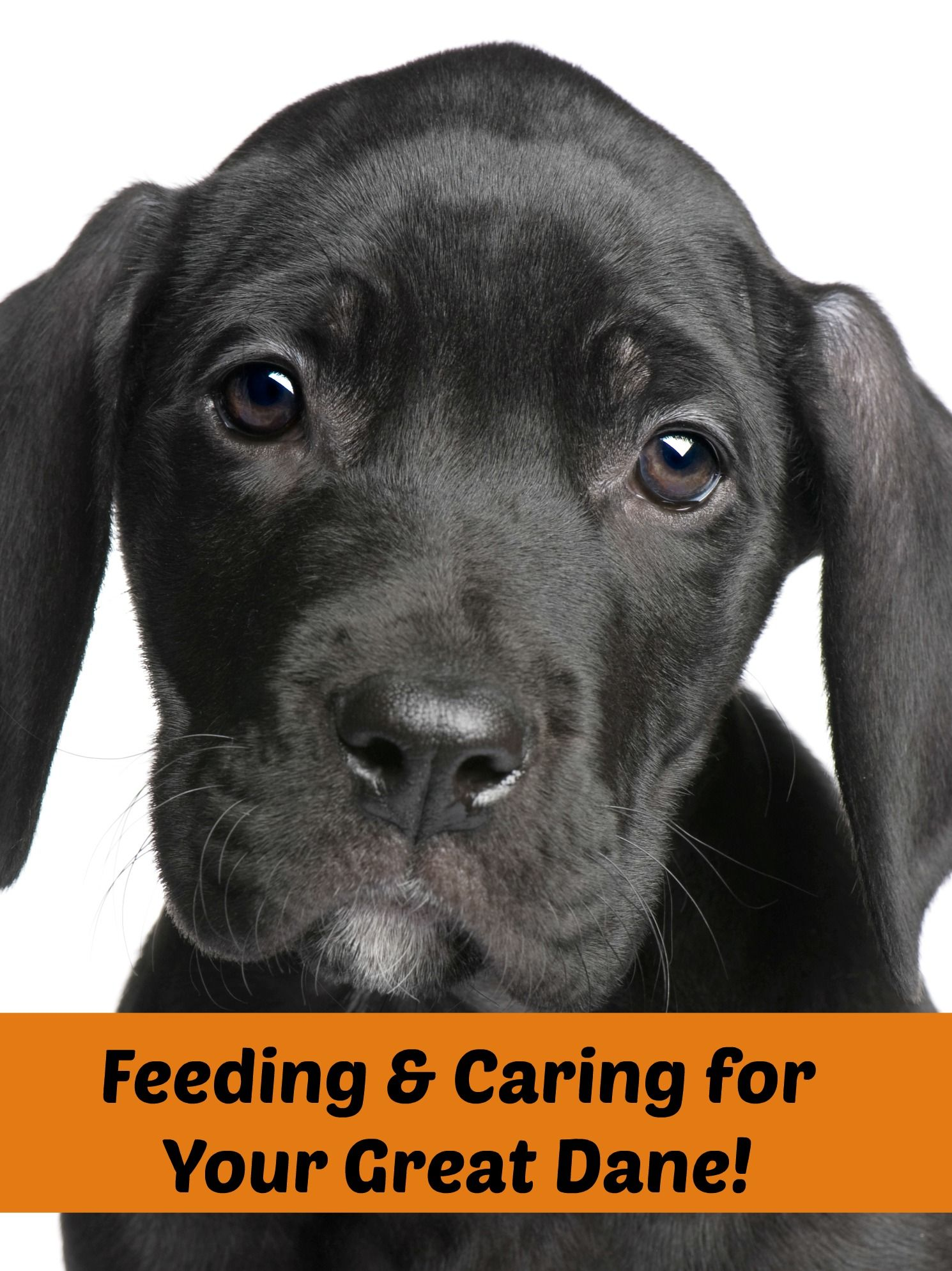 Feeding Guide For Great Danes Diet And Nutritional Needs Great