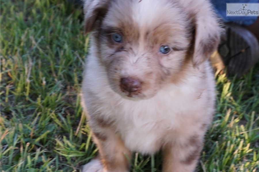 Australian Shepherd Puppy For Sale Near Tyler East Tx Texas