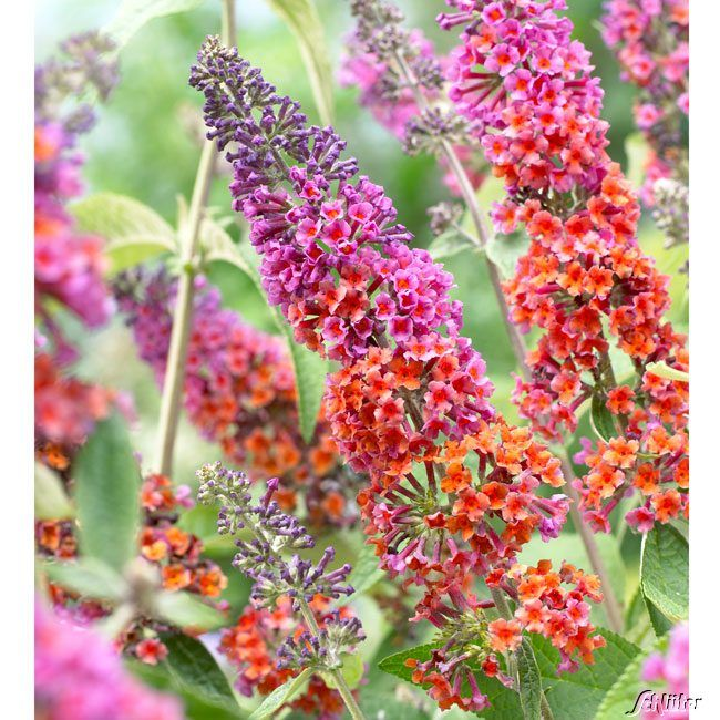 Schmetterlingsflieder Flower Power Buddleja Davidii Flower Power Schmetterlingsflieder Buddleia Flower Power Und Blumen Anbauen