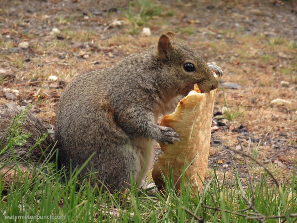 Squirrel Eating Pizza Watermelonpunch Com Squirrel Animals Eat