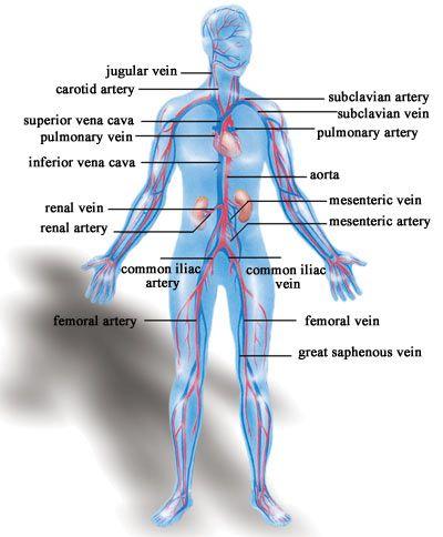 Veinscapillariesarteries Arteries Arterioles Capillaries