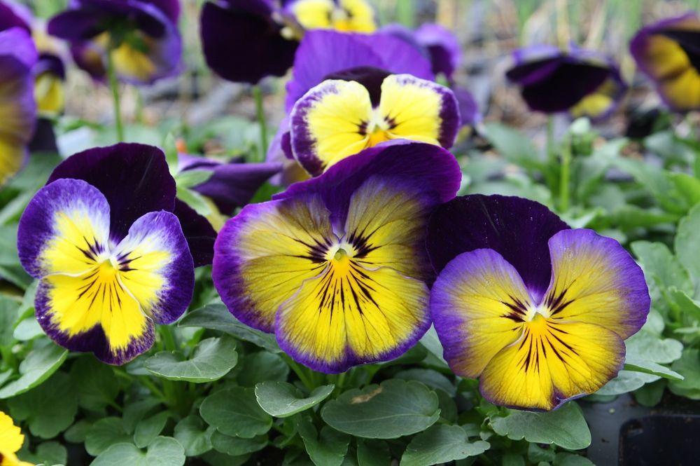100 Pansy Spring Matrix Midnight Glow Live Plants Plugs