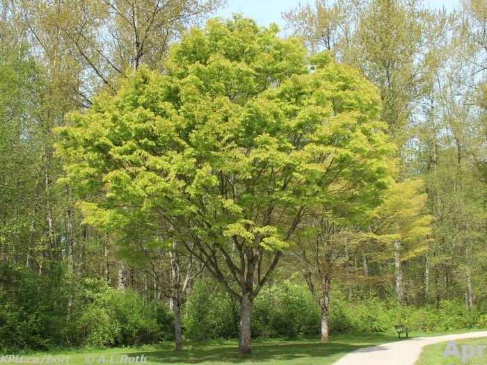 Zelkova serrata, green vase. Love the shape of this tree ...