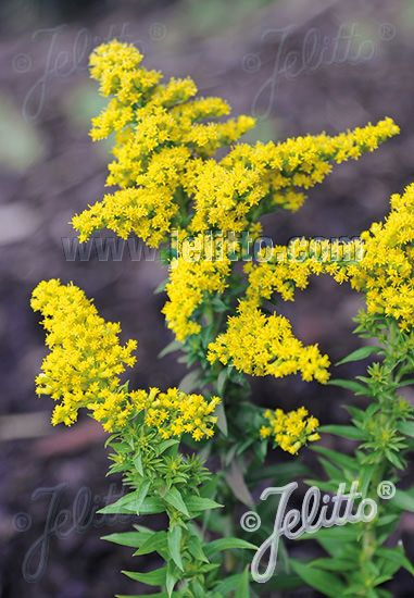 Little Miss Sunshine Goldenrod Growing To An Ultra Compact Height Of Only 12 Inches Little Miss Suns Flowers Perennials Little Miss Sunshine Goldenrod Flower