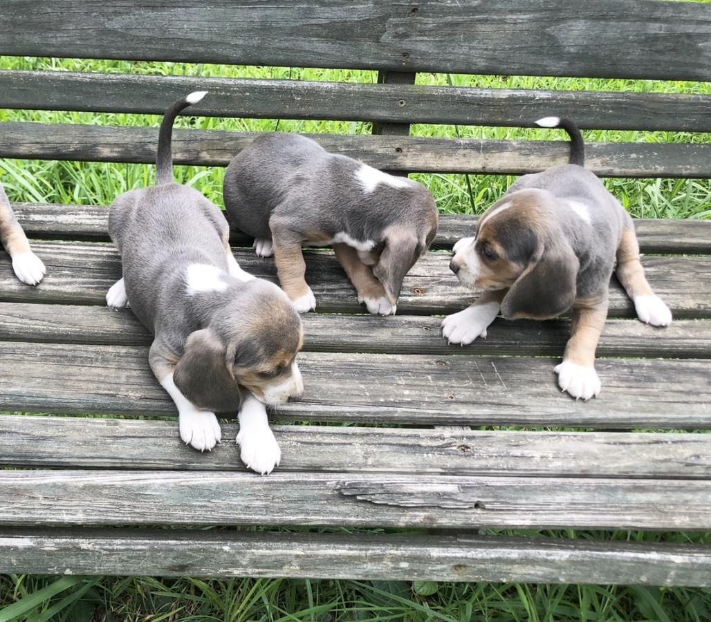 Blue Beagle Puppies In Dalton Georgia Hoobly Classifieds