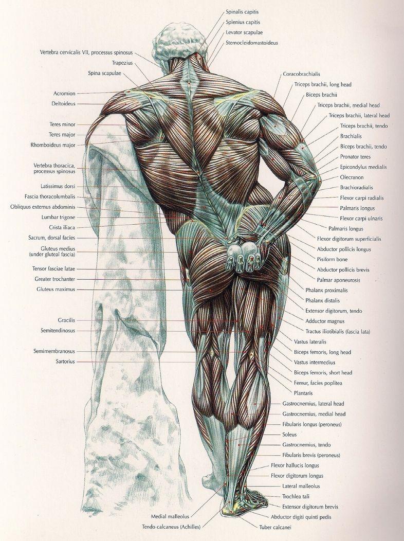 Hercules Exerccio Anatomia Pinterest Anatomy Muscle Pin Labeled Diagram On