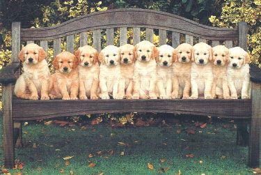 Golden Retriever Birthday Card Animals Beautiful Puppy Kisses