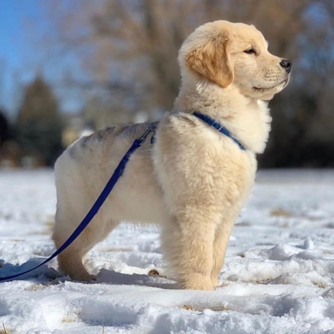 Wow So Adorable Golden Mylokin Cute Baby Animals Cute Animals Puppies