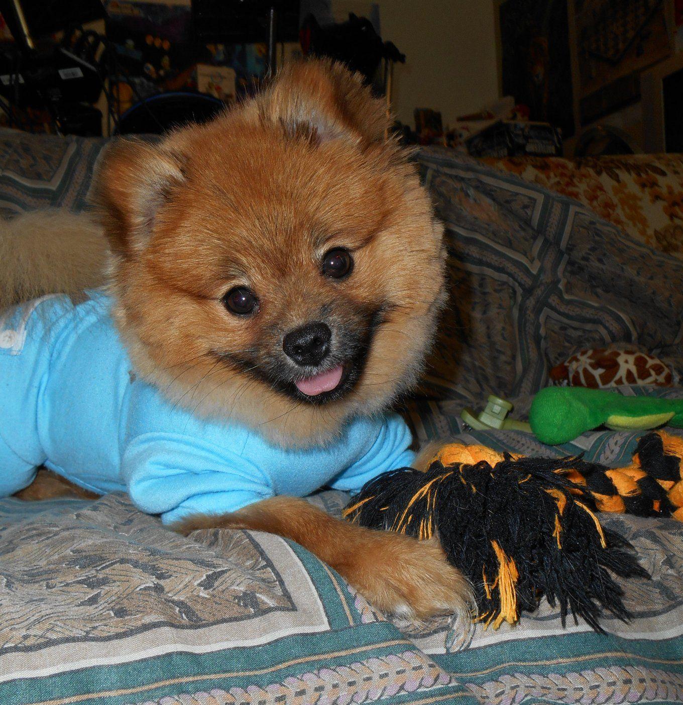 Pom Pomeranian Puppy Red Sable Teddy Bear Haircut Clothes