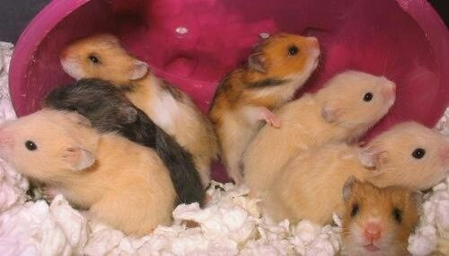 Pin By Susan Ruttloff On Creatures Great Small Syrian Hamster