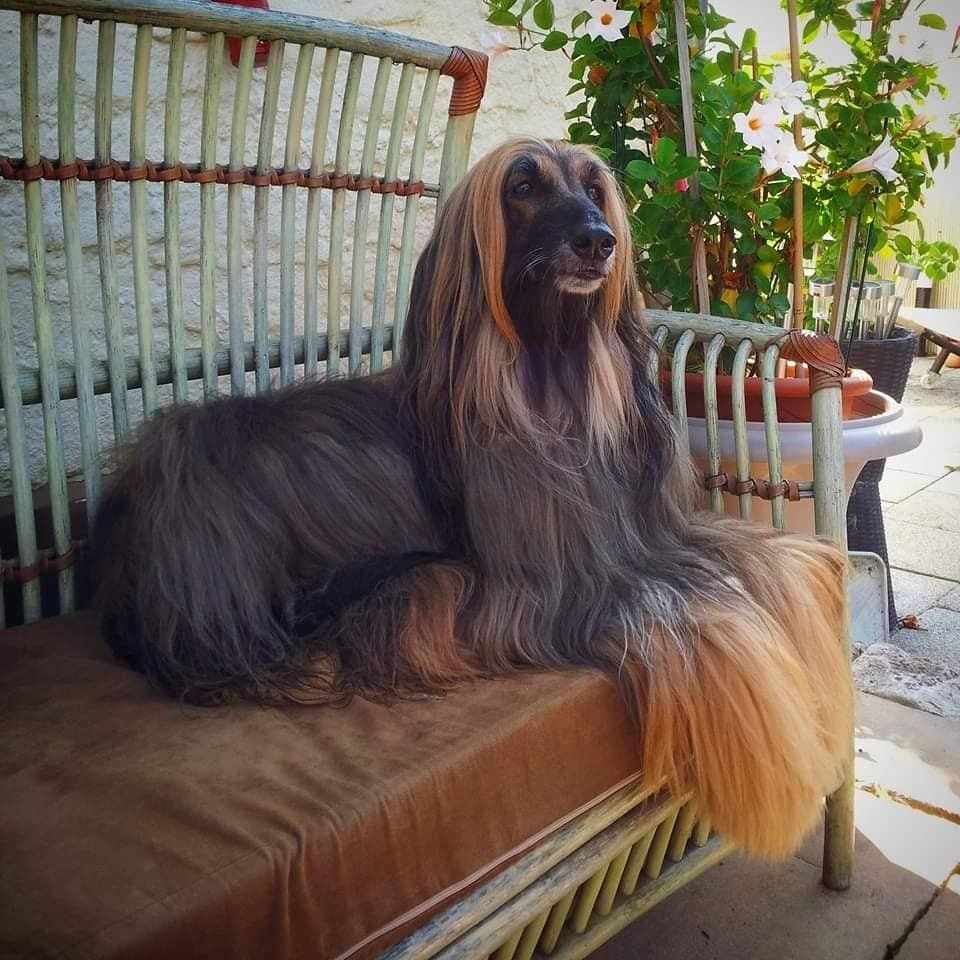 Pin By Daytona Allyn On Dog Grooming Afghan Hound Hound Dog