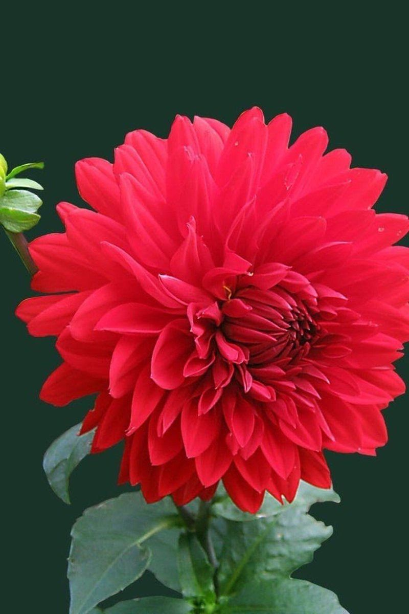 Dahlia dahlias pinterest dahlia flowers and gardens dahlia izmirmasajfo