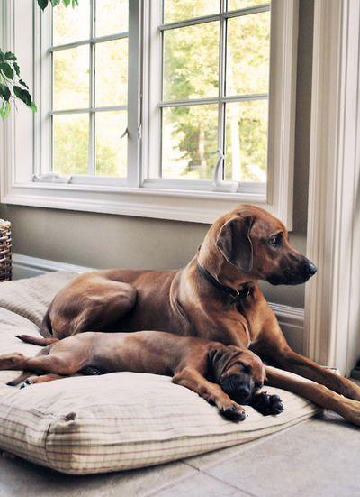 Handsomedogs My Two Rhodesian Ridgebacks Sadie 3 Yrs And Oliver 8 Weeks Susseste Haustiere Hunde Und Babyhunde