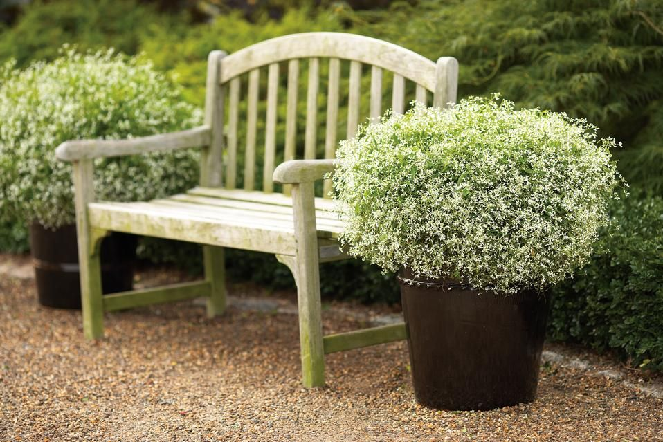 diamond frost euphorbia hybrid coin d tente au jardin pinterest jardins jardinage et. Black Bedroom Furniture Sets. Home Design Ideas