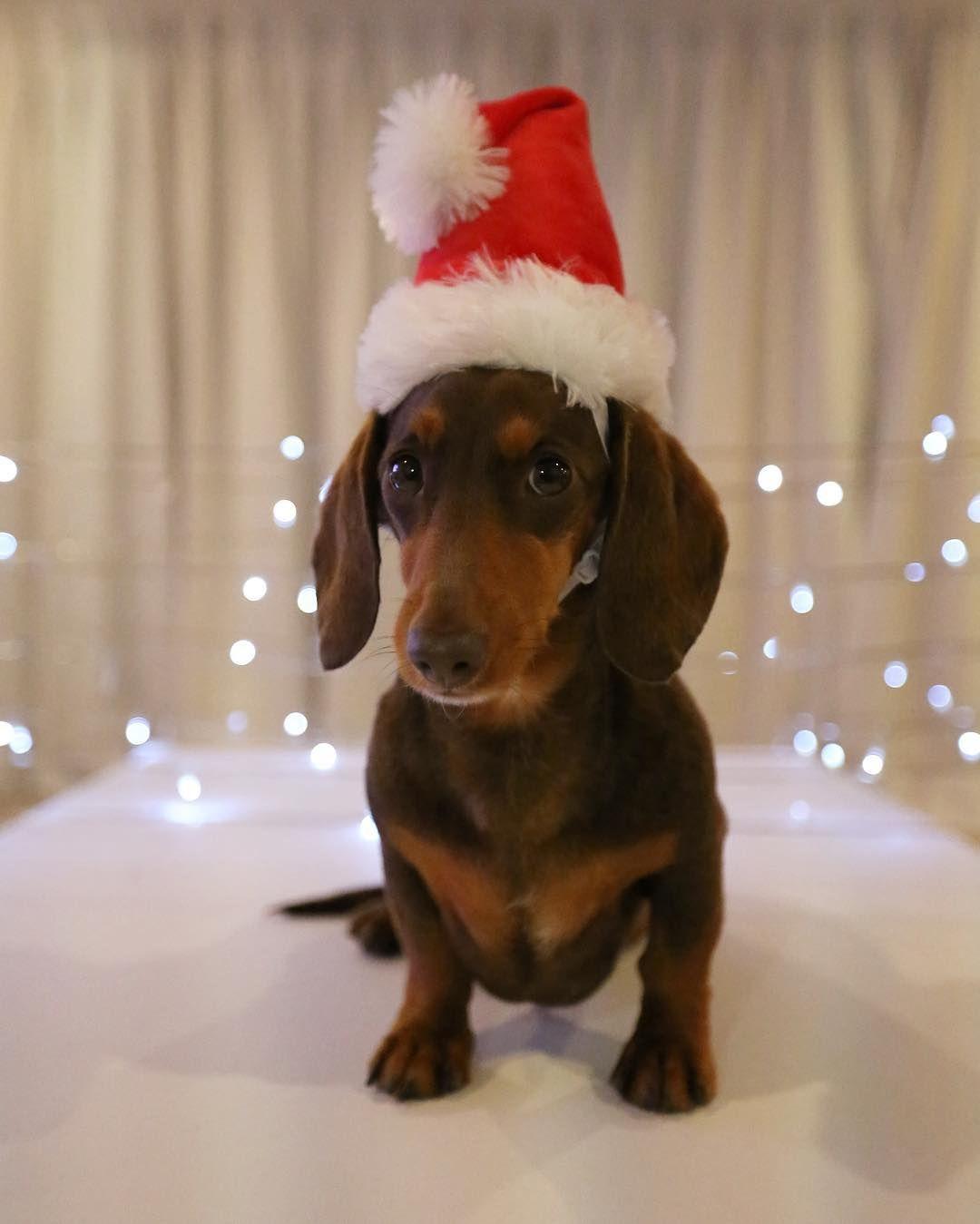 Christmas Sausage Dog Dachshund Christmas Dachshund Love Dachshund Puppies