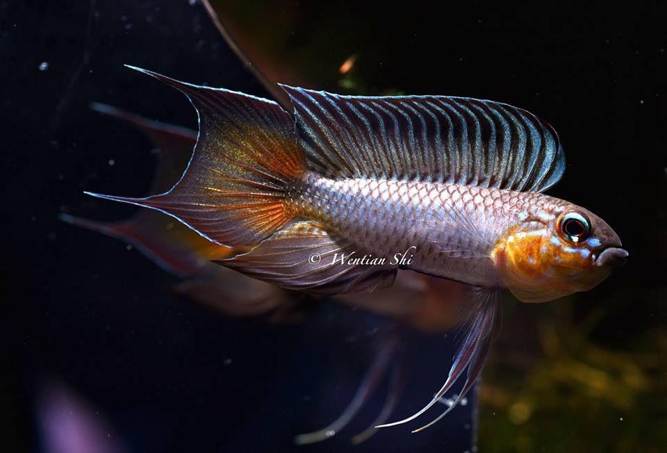Apistogramma flabellicauda #aquariumfreshwaterfishpictures ...
