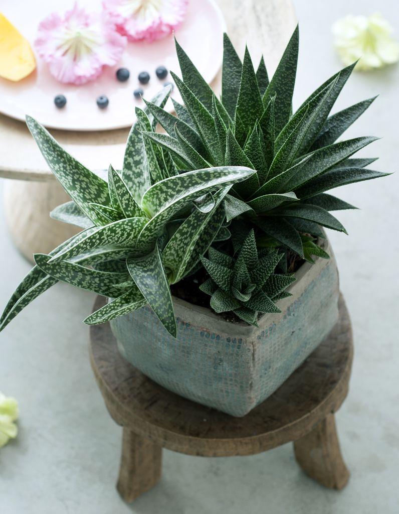Comment Entretenir Une Plante Aloe Vera comment entretenir un aloe vera ? - elle décoration | flower