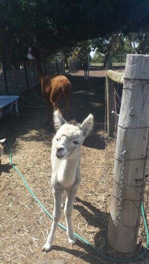 white alpaca
