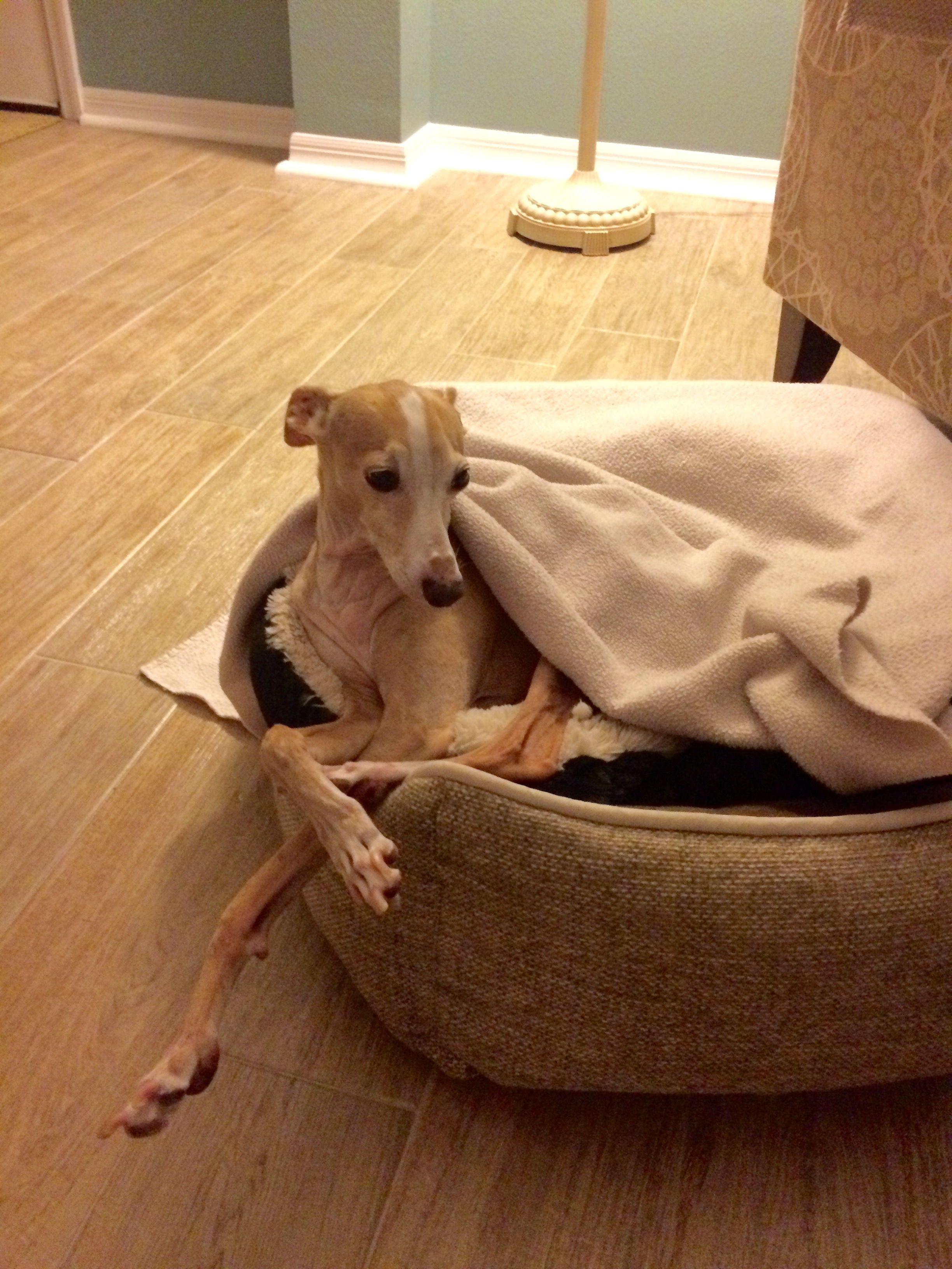 Resultado de imagen para italian greyhound floor