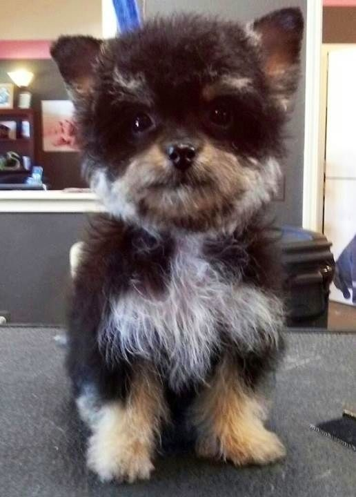 This Sweet Little Cross Between A Yorkshire Terrier And A Poodle Also Goes By Yo Yopoo Or Yorkiedoodle No Mixed Breed Dogs Dog Crossbreeds Poodle Cross Breeds