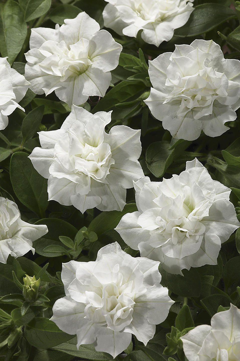 Blanket Double White Petunia Petunia Flower Annual Flowers