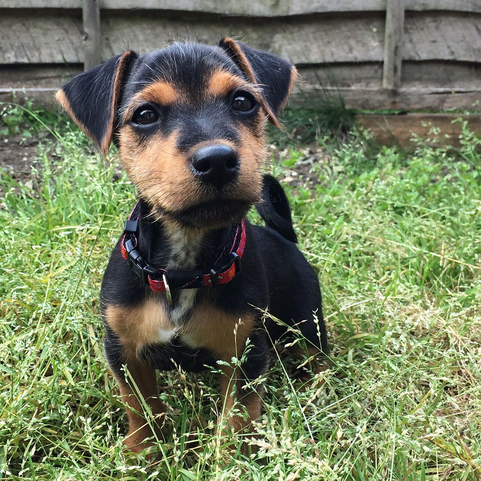 Buzz the Black and Tan jack russell terrier :) | Jack ...