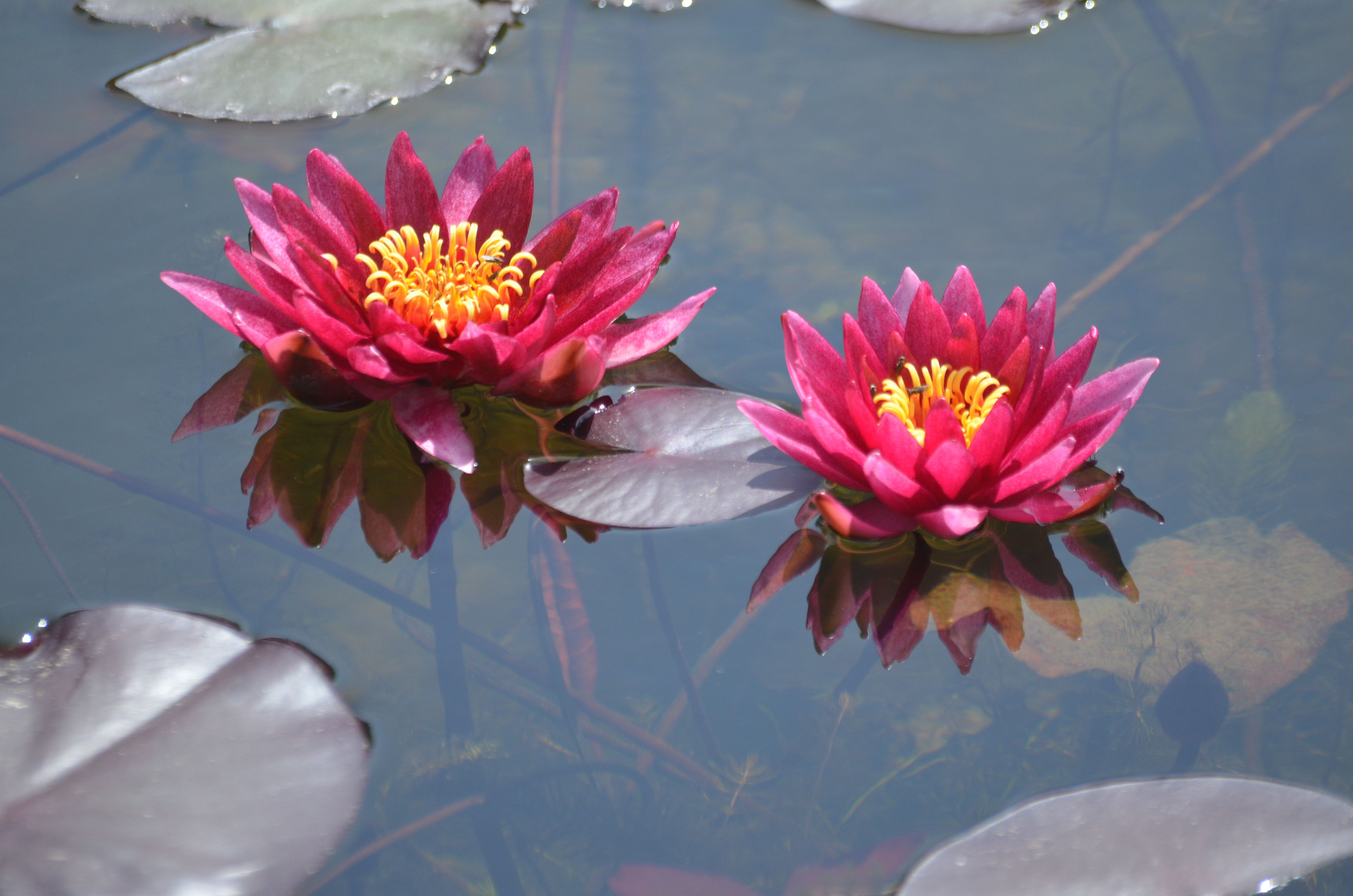 Buy Water Lilies Pond Plants Bennetts Waterlily Plants Water Lilies Pond Plants Water Lily Pond