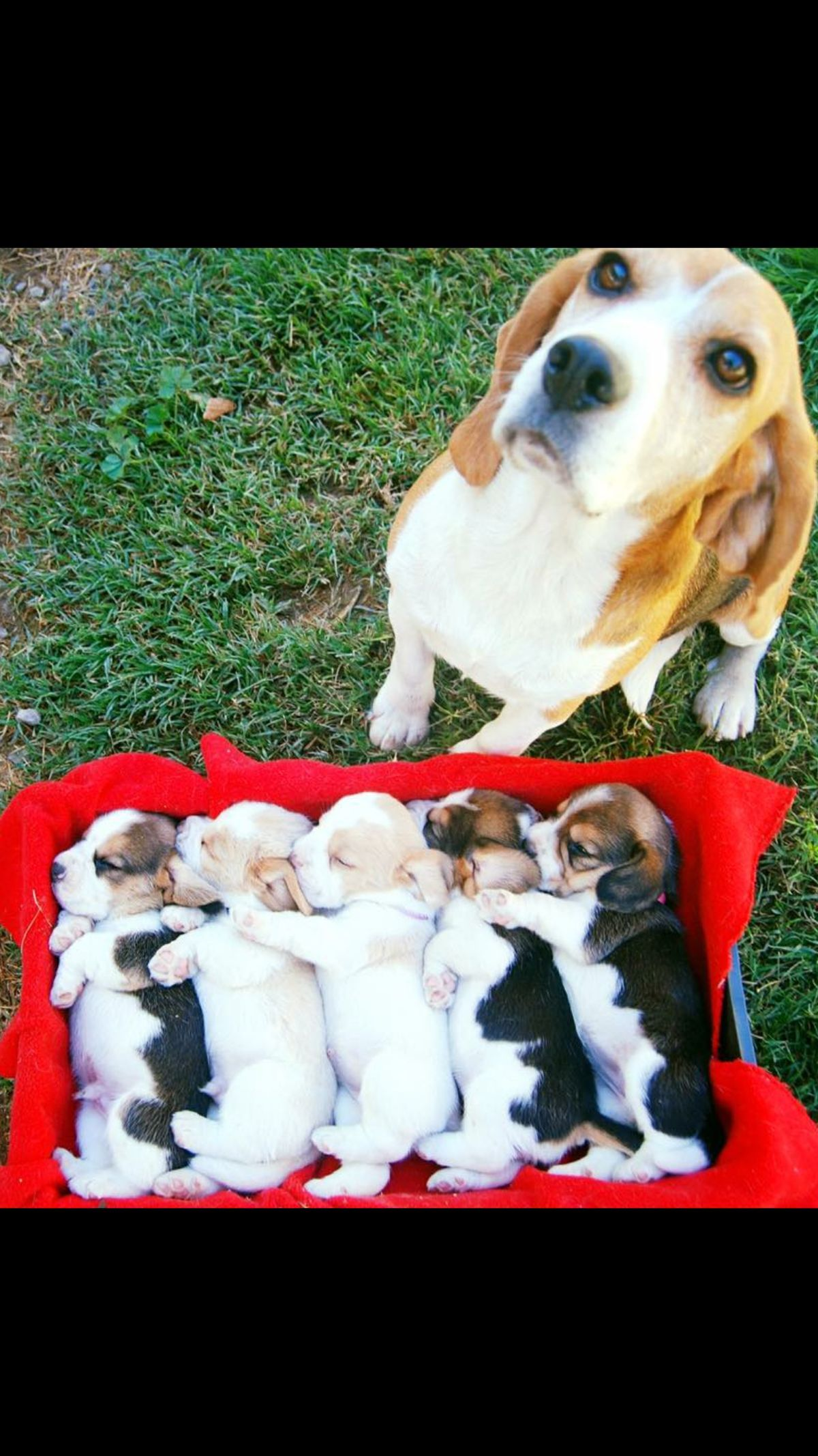 Cute 8 Weeks Old Baby Beagle Plays With Older Beagles For The