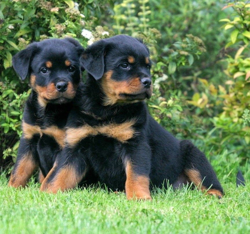 Puppies Rottweiler Puppies Rottweiler Dog Breed Rottweiler Dog