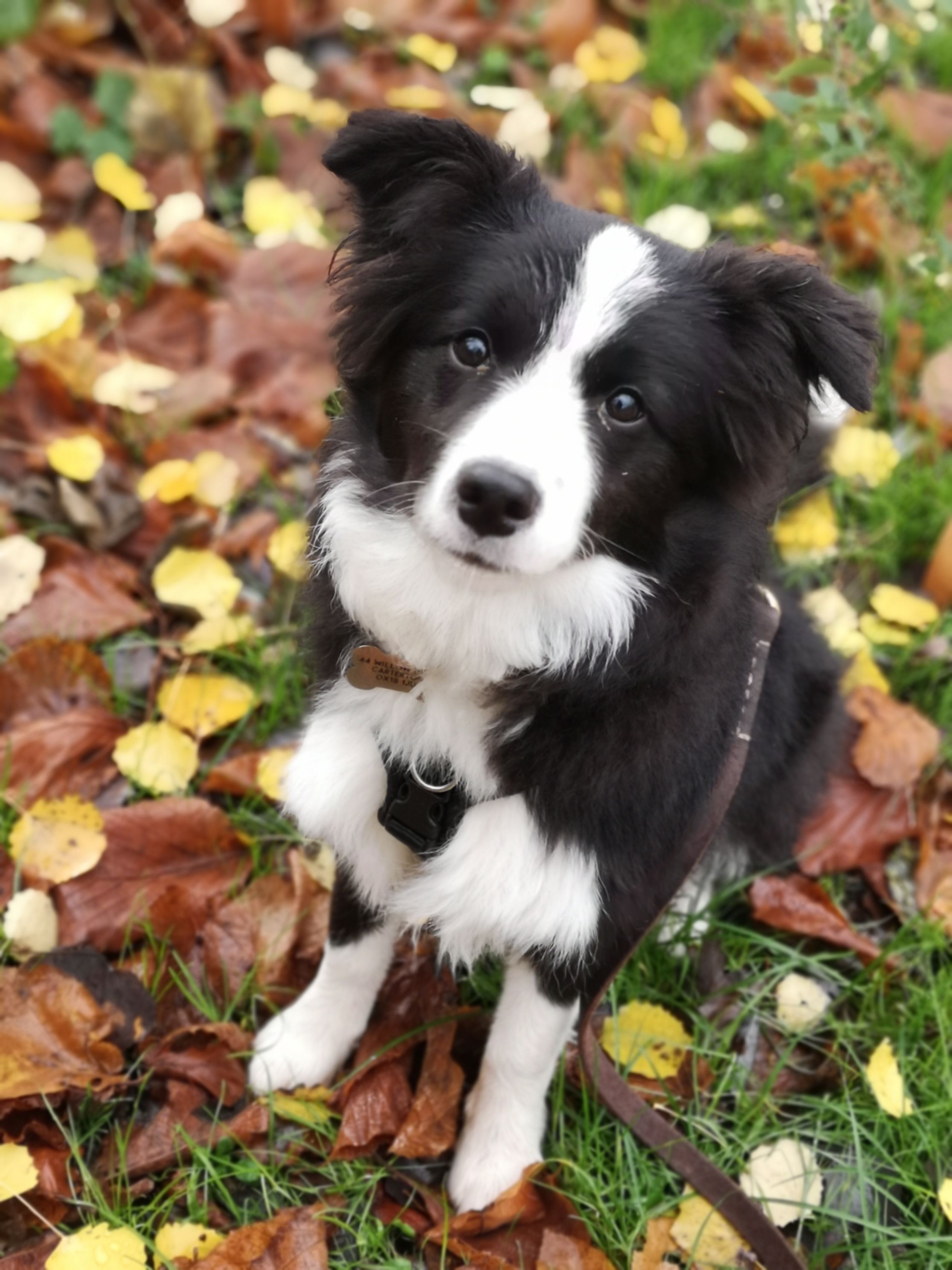 Border Collie Lookin So Adorable Border Collie Puppies Collie