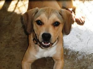 1469 Is An Adoptable Beagle Dog In Warner Robins Ga This Is A