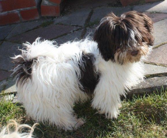 Chocolate Havaneser Havaneser Tibet Terrier Terrier