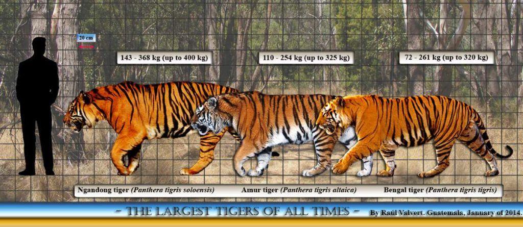Ngandong tiger size comparison Tiger, Tiger facts, Amur