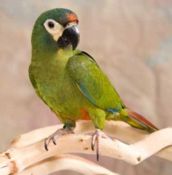Red Bellied Macaw Pet Birds Macaw Macaw Parrot