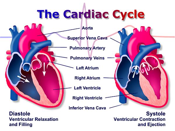 cardiac cycle | cardiac_cycle.png | nasm | Pinterest