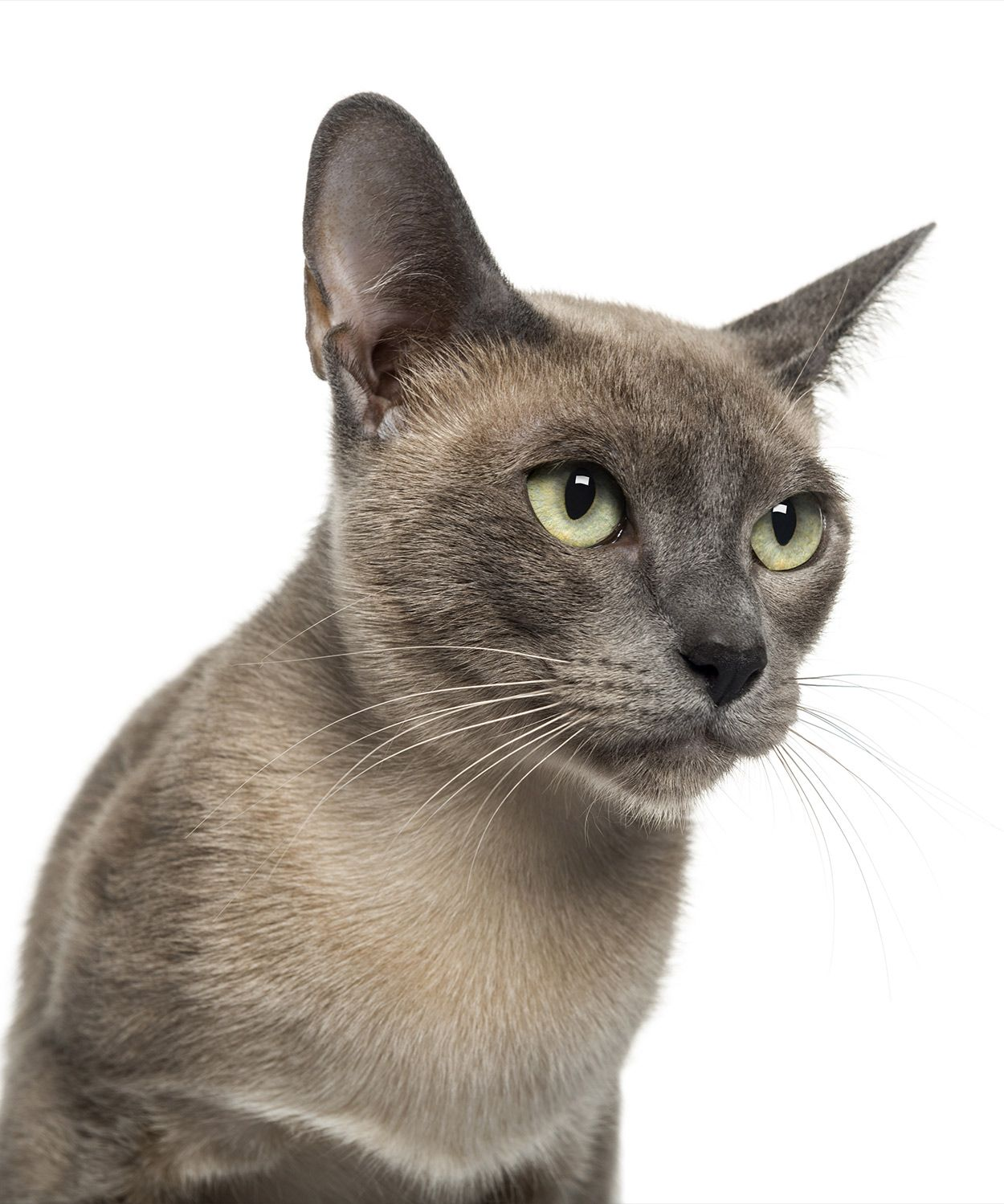Tonkinese Cat Names Tonkinese Cat Cat Breeds Cat Names