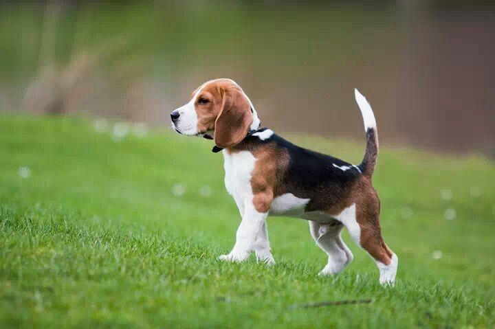 Cute Beagle Beagle Dog Breed Beagle Puppy Cute Beagles