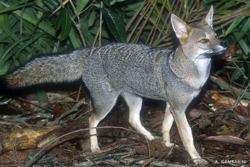 Pró-Carnívoros - Raposinha-do-campo(Lycalopex vetulus)Essa espécie é encontrada apenas no Brasil central.http://www.canids.org