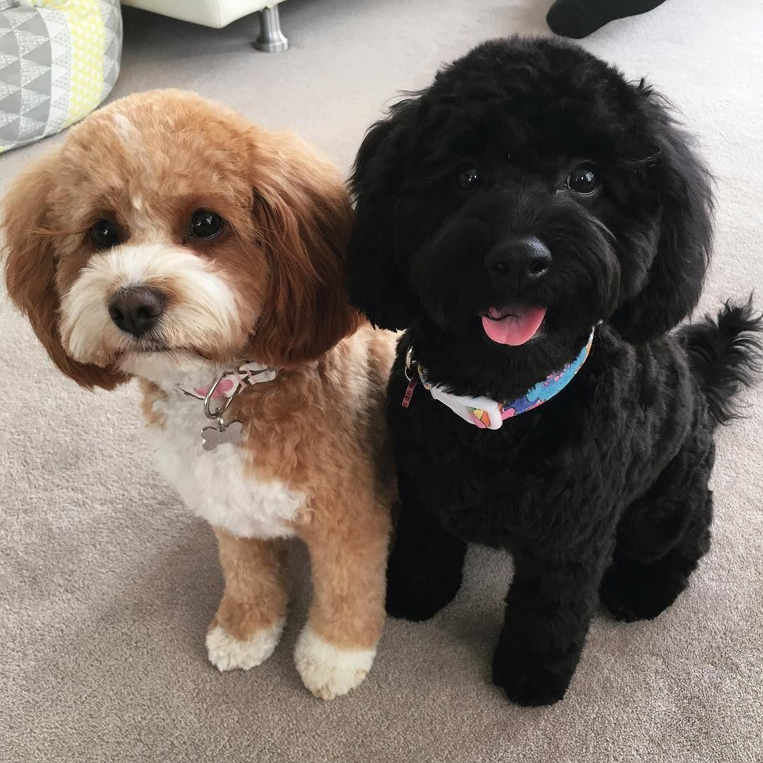 Pin by Gloria Duenas on Cavapoo Puppy grooming, Cute