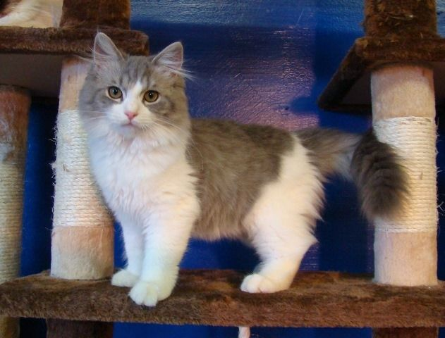 Ragdoll Kittens For Sale Buy Ragdoll Kittens Ragdoll Kitten Ragdoll Kittens For Sale Ragdoll Cats For Sale