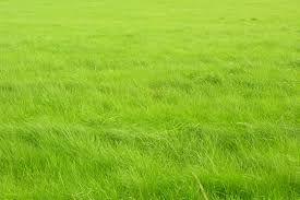 [F]一面草原なのだが風が吹いているのが写真でわかる。