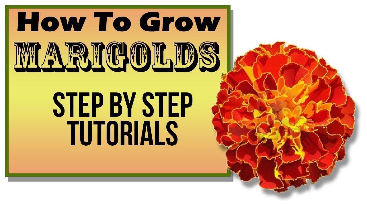 GrowLikeAPro on Growing marigolds, Seeds, Vegetable garden