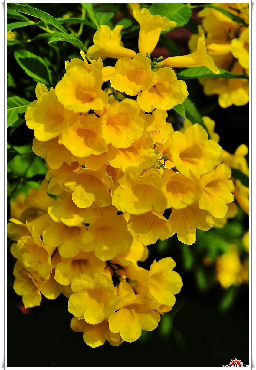 Rumpet Vineyellowbell Yellow Elder Flower Tree