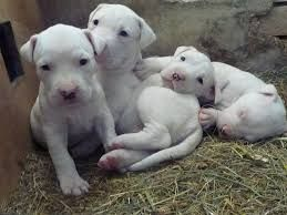 Pure Cuteness Right There White Pitbull Pitbull Puppy