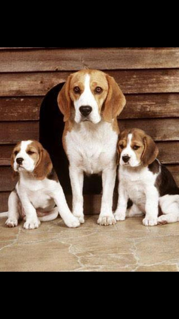 Good Snoopy Beagle Beagle Adorable Dog - caaebe7223df45ac14804fb4d0b20a78  Photograph_702815  .jpg