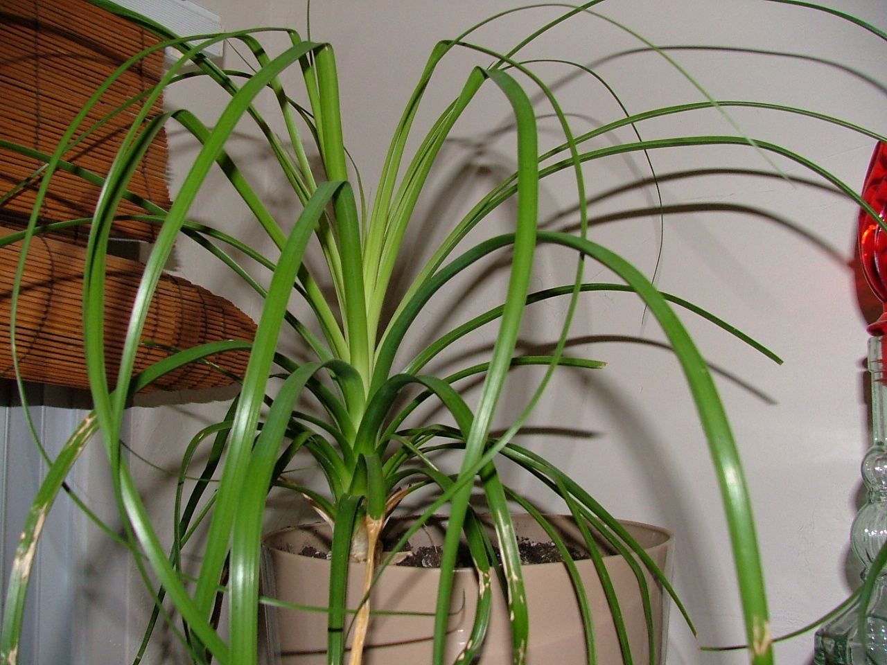Pony tail palm green thumb pinterest easy house 7 uncommon indoor plants
